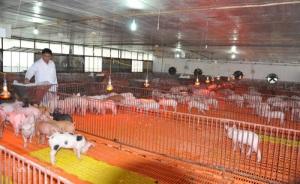 Mất 3,3 triệu con lợn, chấp nhận sống chung với dịch tả lợn châu Phi