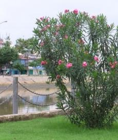 Phối hợp triển khai các biện pháp cấp bách phòng ngừa ngộ độc do độc tố tự nhiên ở một số loài cây, hoa trong khuôn viên các cơ sở giáo dục cho học sinh