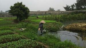 Rau nhiễm độc vì được rửa bằng nước ô nhiễm